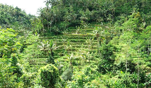 Balis ist berühmte für seine Reisterassen